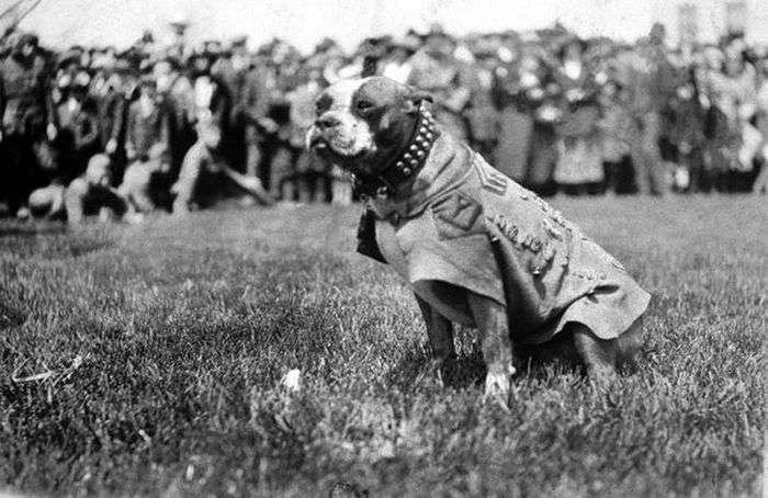 Унікальний бойовий пес по кличці Стабби (12 фото)