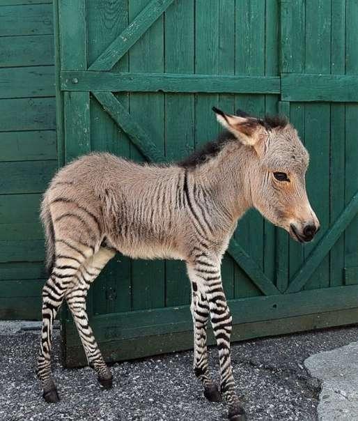 Незвичайний ослик народився в зоопарку (8 фото)
