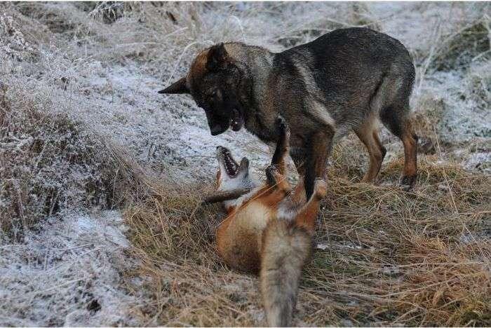 Незвичайні друзі: дика лисиця і собака (10 фото)