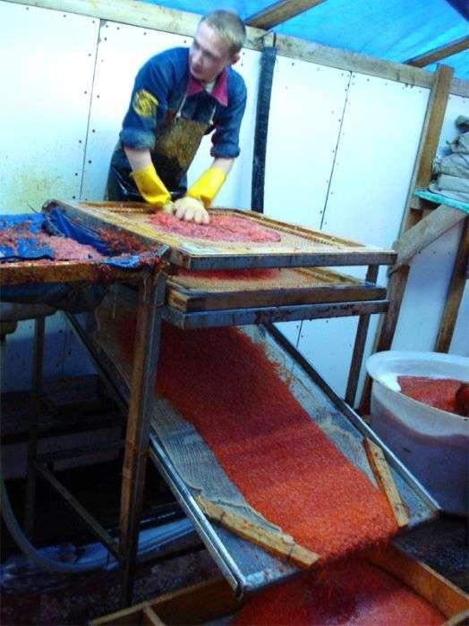 Як виробляють червону ікру (12 фото)