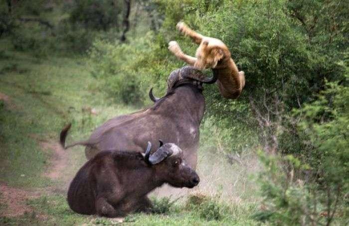 Взаємовиручка диких буйволів (12 фото)