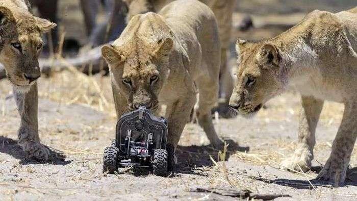 Леви проти радіокерованого камери (22 фото + відео)