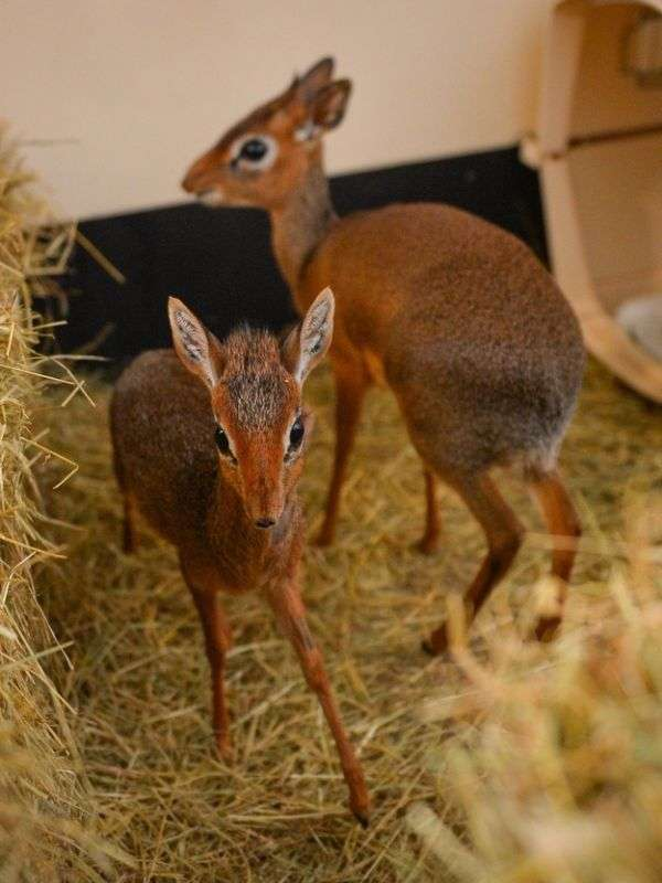 Найменша антилопа у світі (15 фото)