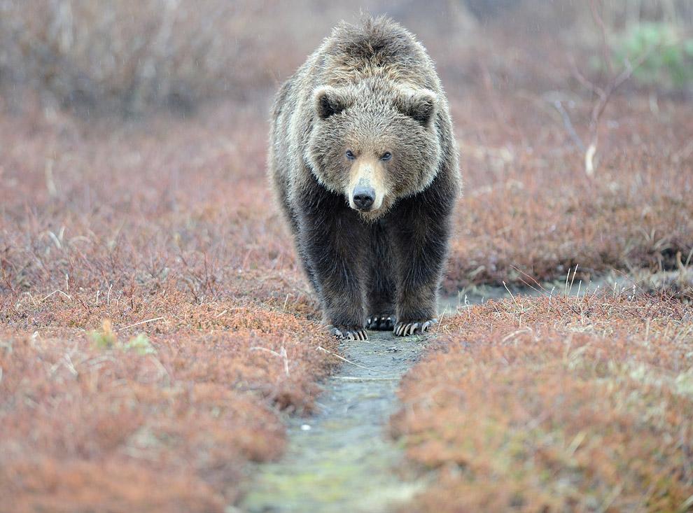 Медвежьи тропы животные,интересное,Камчатка,медведи,познавательно,природа