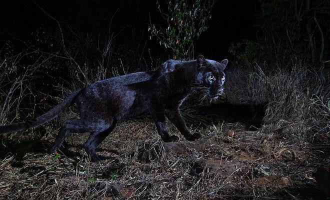 Черный леопард: редкий хищник впервые за 100 лет попал на камеру заповедник
