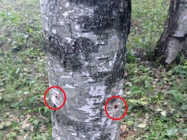 Как уничтожить дерево, не спиливая его советы