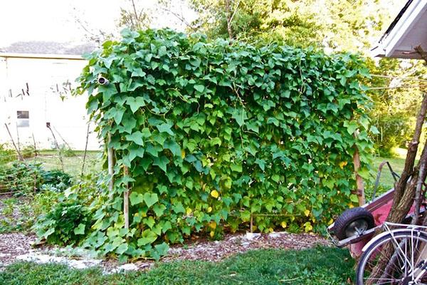 Для увеличения урожая огурцов в открытом грунте используем подвязку плетей сделай сам