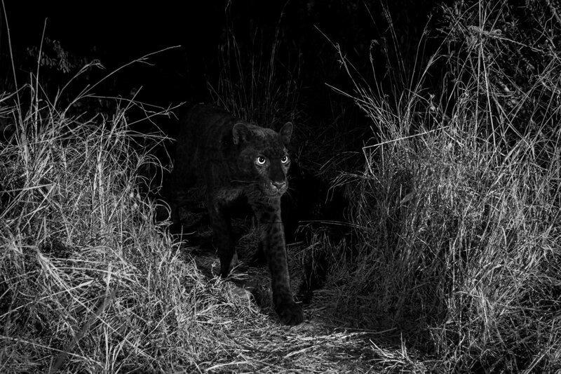 Очень редкого черного леопарда впервые за 100 лет сфотографировали в Африке природа