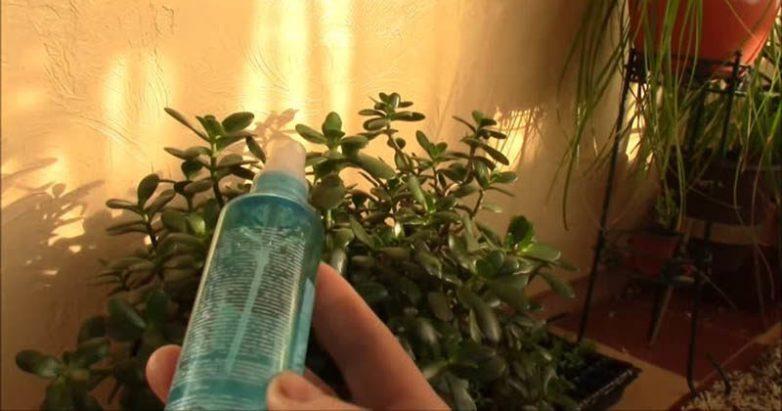 Копеечное аптечное средство — спасение для комнатных растений зимой! домоводство