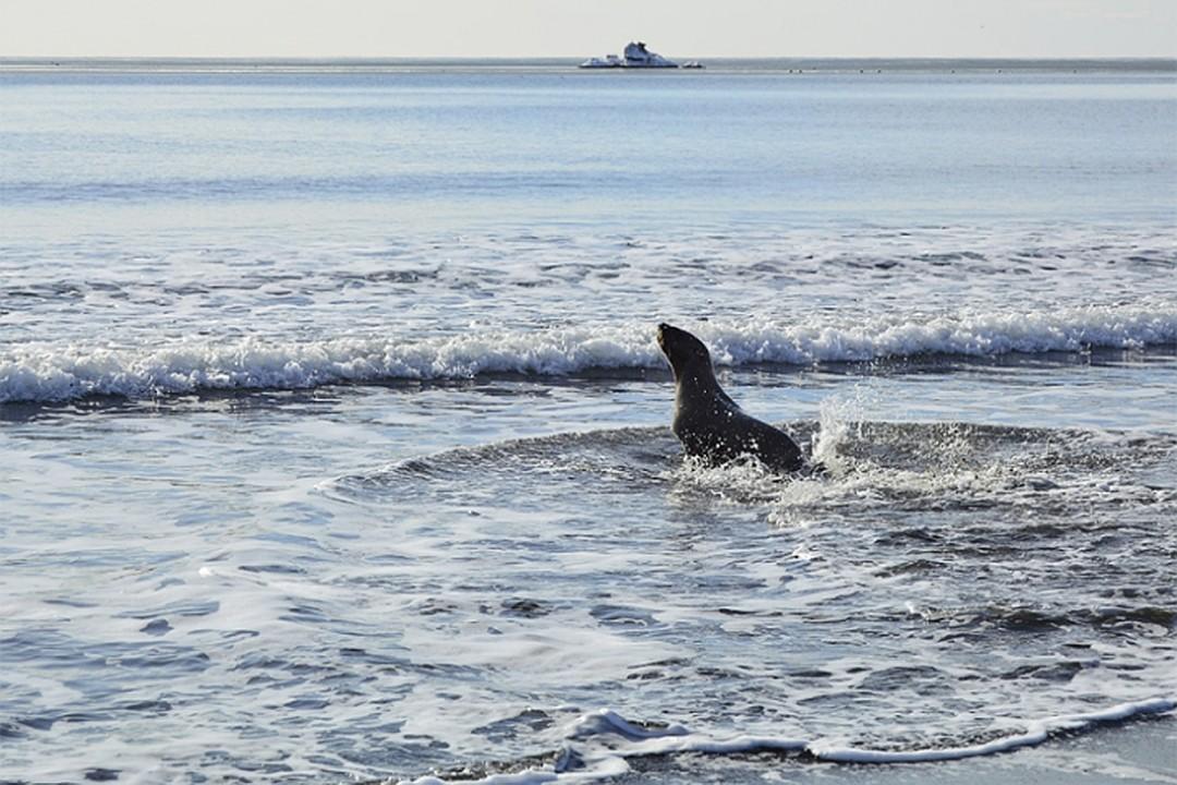 На Сахалине заблудившийся сивуч часами плутал в лесу в поисках выхода к морю
