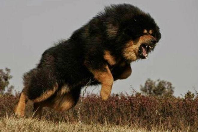 Тибетский мастиф: собака, которая может противостоять стае волков волки