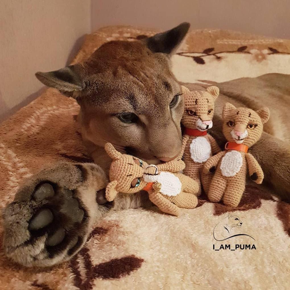 Пара забрала пуму из саранского контактного зоопарка и превратила её в разбалованного домашнего кота животные